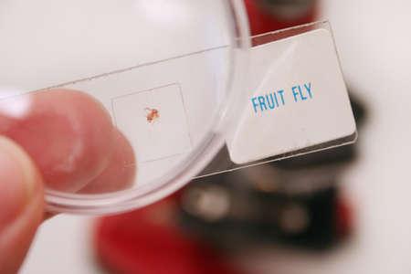 microscopisch: Fruit Fly op microscopische dia Stockfoto