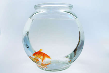 confined: Goldfish in bowl
