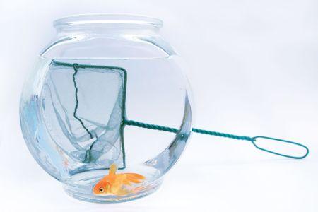 fishy: Goldfish and fish net