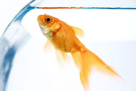 Goldfish in bowl photo
