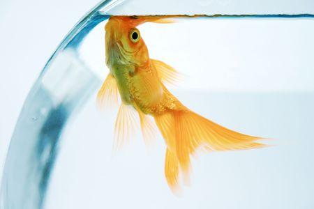 fishy: Goldfish in bowl