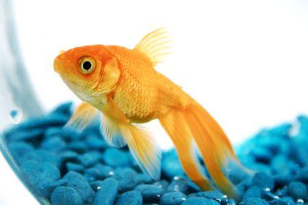 pez dorado: En Goldfish Bowl