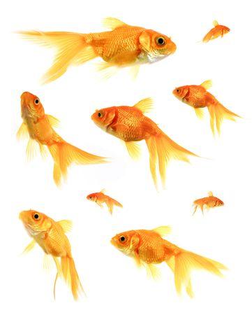 gills: Assorted Goldfish Stock Photo