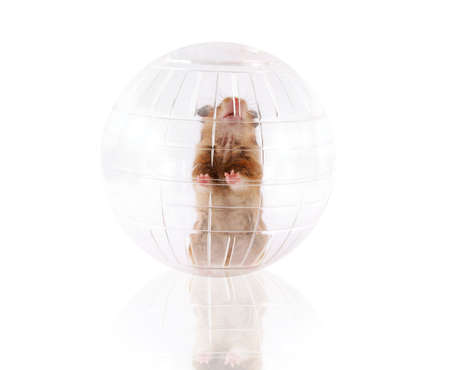 hamsters: Pet hamster playing