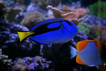 tang: Blue Tang Fish Stock Photo