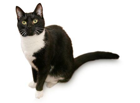 cat grooming: Beautiful tuxedo cat - Isolated