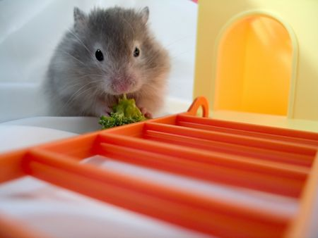 brocolli: A syrian hamster eating a peice of brocolli, hamster house and steps next to him.