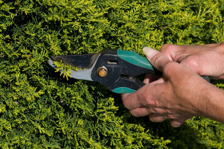 bush trimming: Pair of middle aged hands trimming a hedge.
