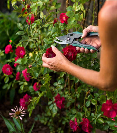 bush trimming: Female trimming a climbing rose bush with a pair of clippers.