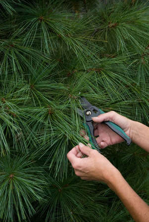 clippers: Pair of female hands trimming pine tree with shrubbery clippers. Stock Photo
