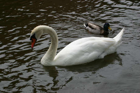 arched neck: White Swan with duck