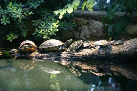 Turtles sunbathing on a log