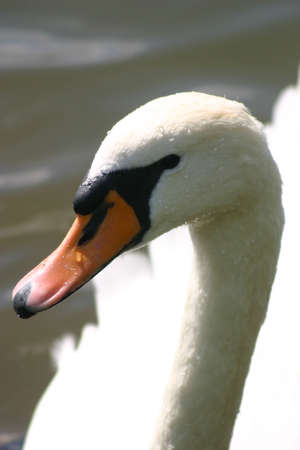 arched neck: White Swan