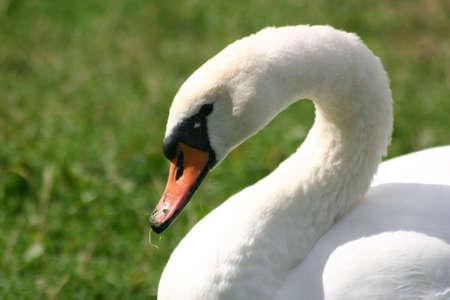 White Swan Stock Photo - 258471