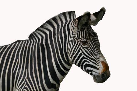 Zebra, isolated photo