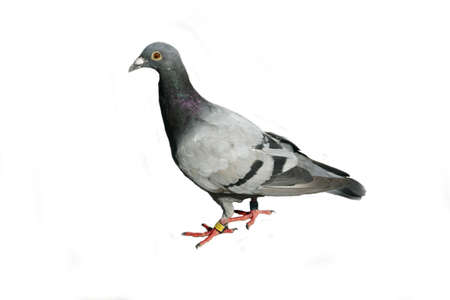 Gray pigeon, isolated