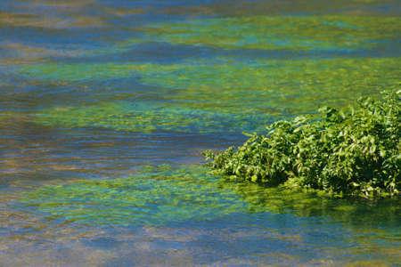 flowing river: Close up of agua berros creciendo en un r�o natural