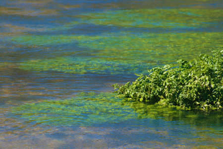 Close up of water cress growing in a natural flowing river photo
