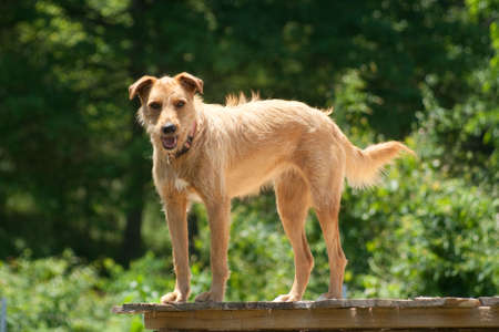 rescued: A blonde dog standing on a porch.