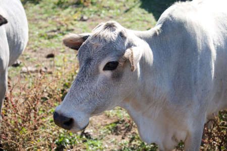 A close up of the head of a zebu cow. photo