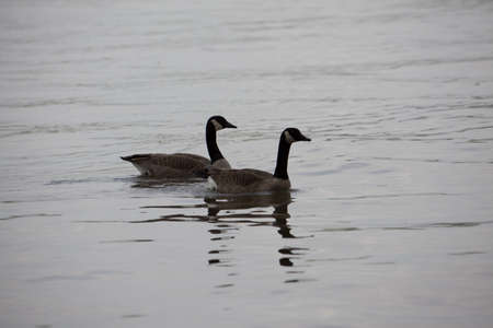 Two geese floating in a lake. photo