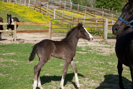 A black foal with a white blaze. photo