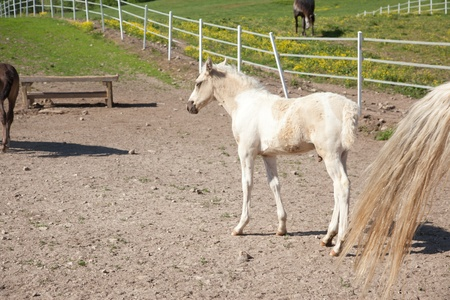 A white and brown paint foal. photo