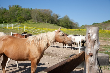 skewbald: A palomino in a corral.
