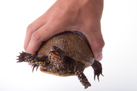 A turtle being held in a hand.