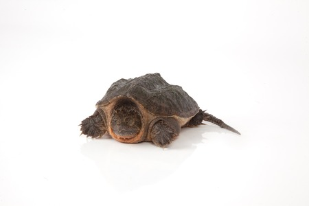 snapping turtle: A snapping turtle isolated on a white background.