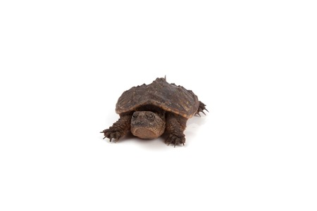 snapping turtle: A baby snapping turtle isolated on a white background.