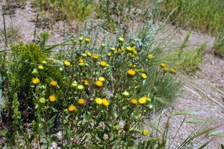 yellow wildflowers: Yellow wildflowers growing in a field.