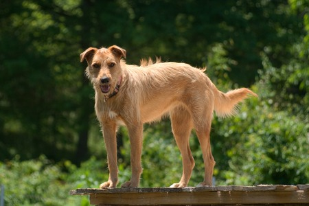 A blonde dog standing on a porch.