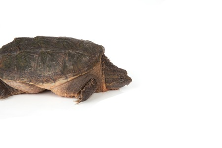 snapping turtle: The side of a snapping turtle isolated on a white background. Stock Photo