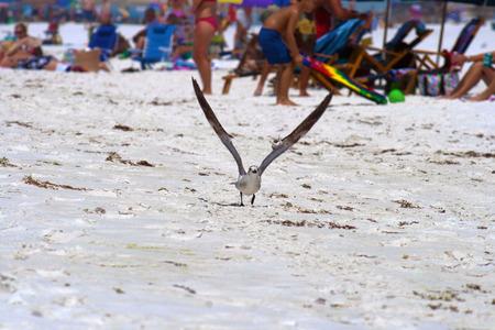 sea gull: A sea gull landing on the beach.