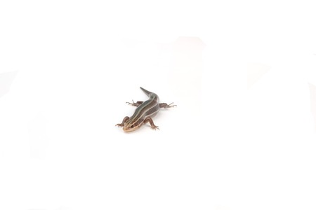 amphibians: A skink isolated on a white background.