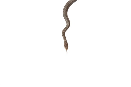 serpents: A blue racer snake isolated on a white background. Stock Photo