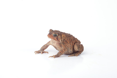 amphibians: A toad isolated on a white background.