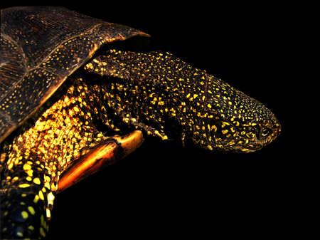 emys: the european marsh turtle, emys orbicularis