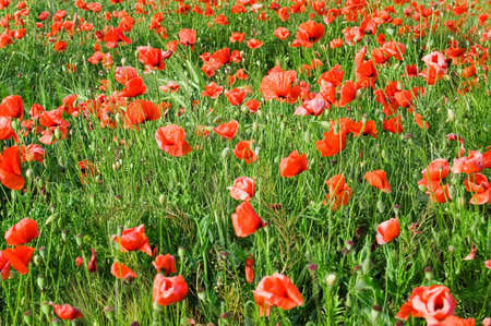 herbage: The red flowers on green field.