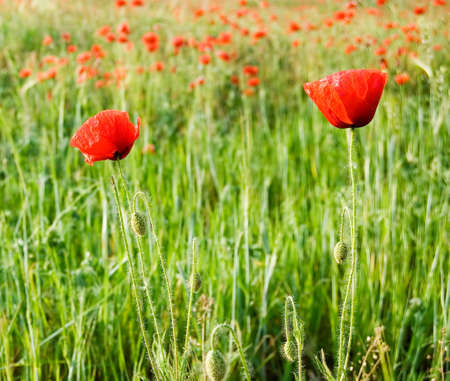 herbage: The red poppies on green field. Stock Photo
