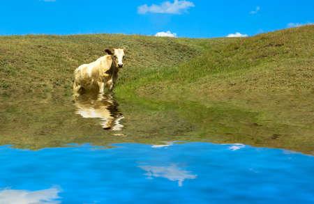 The cow ashore lake. photo