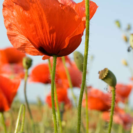 The red flowerses on green field. Stock Photo