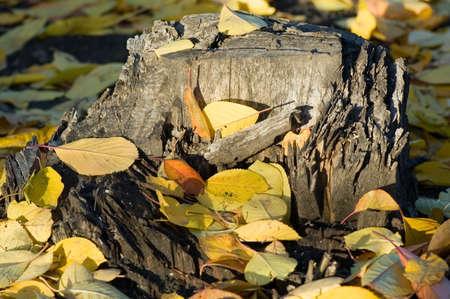 Yellow autumn leaves on a stub. photo