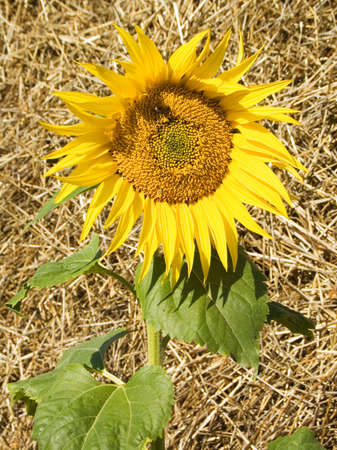 Yellow sunflower on a background of new-mown hay Stock Photo - 2037569