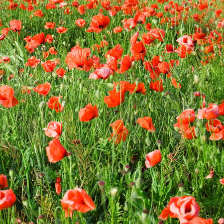 herbage: The red flowerses on green field.