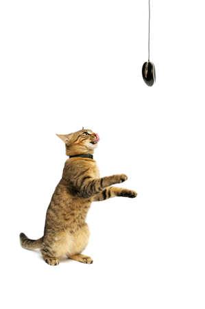 Gato juega con el rat�n del ordenador  Foto de archivo