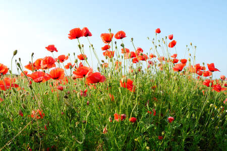 red poppies on green field Stock Photo - 2697293