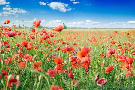 amapolas rojas en campo verde Foto de archivo