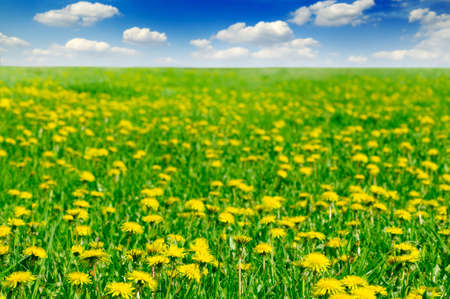 dandelions on spring field Stock Photo - 2993084